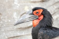 Free Cafer Or Southern Ground Hornbill Royalty Free Stock Photography - 17463717
