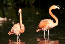 Free Pink Flamingo Standing Stock Image - 17463731