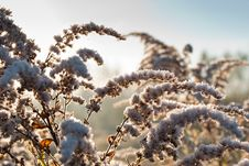 Free A Frozen Goldenrod Stock Image - 17463741