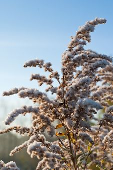 Free A Frozen Goldenrod Royalty Free Stock Photo - 17463745