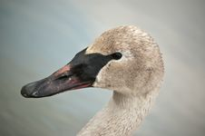 Free Trumpeter Swan With Muddy Beak Royalty Free Stock Photos - 17464508