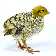 Free Nestling Of Yellow Quail Strain Royalty Free Stock Photography - 17464527