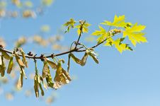 Free Maple Keys And Leaves On A Branch In Spring Royalty Free Stock Photos - 17464538
