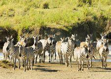 Free Zebras Stock Photos - 17464763