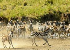 Free Zebras Royalty Free Stock Image - 17464766