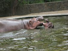 Free Hippopotamus Stock Photos - 17465033