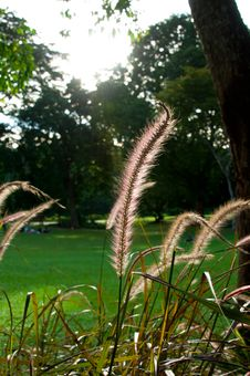 Free Reed Grass Royalty Free Stock Photos - 17465218