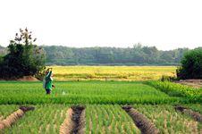 Free Onion Field Stock Image - 17465491