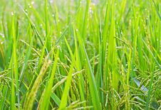 Free Rice Field Stock Photos - 17466223
