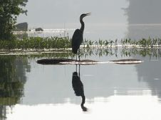 Free Great Blue Heron (Ardea Herodeus) With Reflection Stock Images - 17466744
