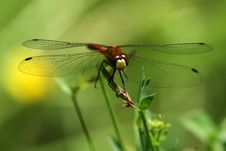 Free Red Dragonfly Stock Photo - 17466780