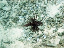 Free Lion Fish Stock Photography - 17466812