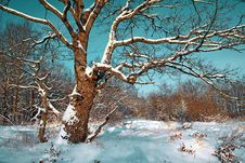 Free Oak In Snow Stock Images - 17467694