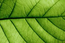 Free Leaf Royalty Free Stock Photos - 17468888