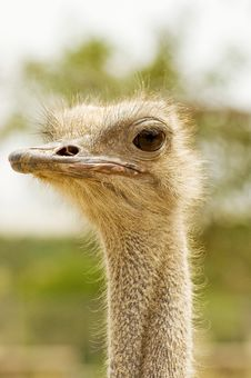 Free Ostrich Royalty Free Stock Photos - 17469188