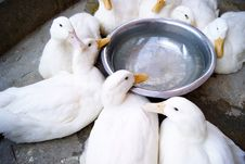 Free Duck Stock Photography - 17470512