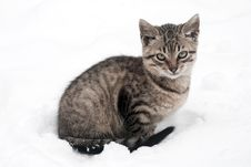 Free Kitten On White Snow Stock Photos - 17471513