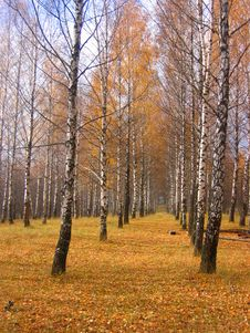 Free Autumn Birch Royalty Free Stock Photos - 17471648