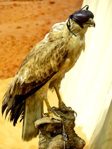 Free Falconry Falcon With Blind Fold Royalty Free Stock Image - 17472136