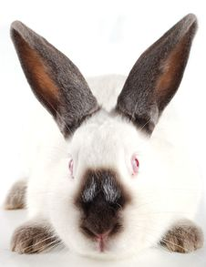 Free Muzzle Of A Rabbit Stock Images - 17472814