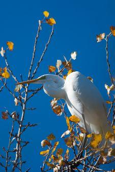 Free Great White Egret (Egretta Alba) Stock Photo - 17473400