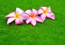 Free Pink Frangipani Royalty Free Stock Image - 17474336