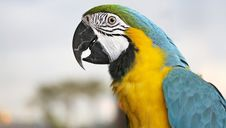 Free Young Blue-and-yellow Macaw - Ara Ararauna Royalty Free Stock Photo - 17474655