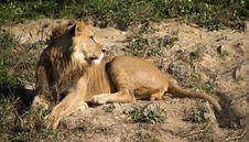 Free Lion Stock Photo - 17477320