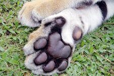 Free Tiger Feet Stock Photo - 17477890