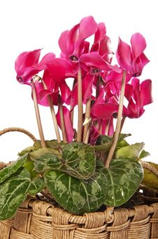Free Cyclamen Flowers Decoration Royalty Free Stock Photography - 17478397