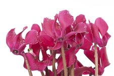 Free Cyclamen Flowers With Rain Drops Royalty Free Stock Images - 17478449