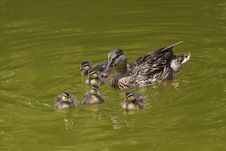 Free Wild Duck With Its Cubs Royalty Free Stock Image - 17478696