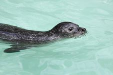 Free Harbour Seal Stock Photography - 17478942