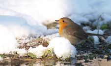 Free Robin In Winter Royalty Free Stock Photos - 17479128