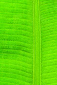 Free Banana Leaf Royalty Free Stock Photography - 17479627