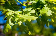Free Oak Leaves Against The Sky Royalty Free Stock Photos - 17479918