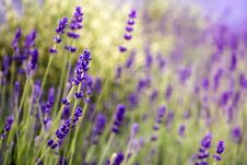 Free Blooming Lavender In Garden. Purple Flowers Royalty Free Stock Photo - 174795595