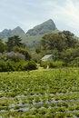 Free Organic Strawberry Farm Royalty Free Stock Photos - 17480548