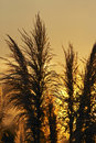 Free Pampas Grass Against The Sunset Royalty Free Stock Images - 17482279
