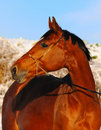 Free Portrait Of Bay Horse In Winter Royalty Free Stock Photography - 17489217
