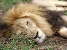 Free Male Lion Resting. Royalty Free Stock Images - 17480679