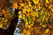 Free Colorful Autumn Maple Leaf Royalty Free Stock Photo - 17481005