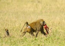 Baboon Is Eating Stock Photography
