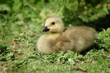 Free Gosling In Grass Stock Photo - 17481870