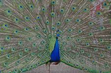 Free Peacock Displaying Royalty Free Stock Photo - 17482695
