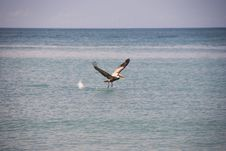 Free Pelican Taking Off In The Water Royalty Free Stock Image - 17484416