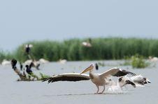 Free White Pelican Landing Stock Photography - 17484422