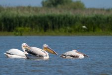 Free White Pelicans Stock Images - 17484434