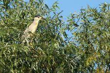 Free Black Crowned Night Heron Royalty Free Stock Image - 17484446