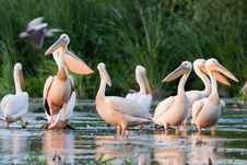 Free White Pelicans Stock Images - 17484464